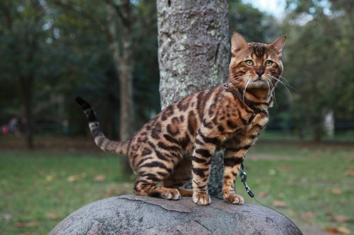 Aspecto de la raza de gato bengalí