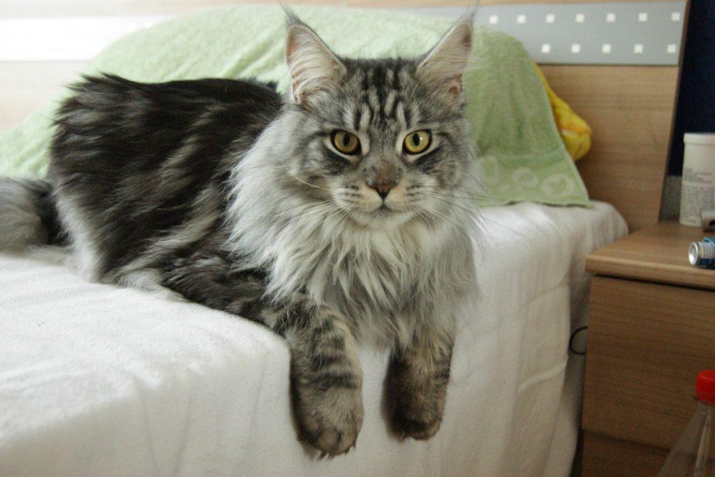 Aspecto del gato de raza Maine Coon