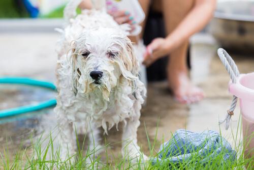 Bañar a tu perro con champú de avena