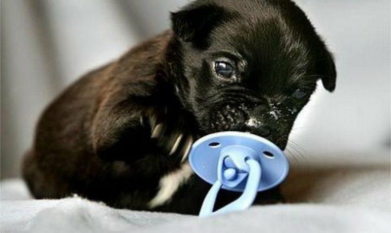Cómo alimentar a un cachorro que ha sido destetado prematuramente