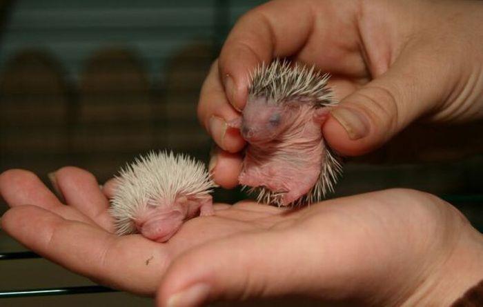 Cómo cuidar a erizos recién nacidos que tienen a su madre