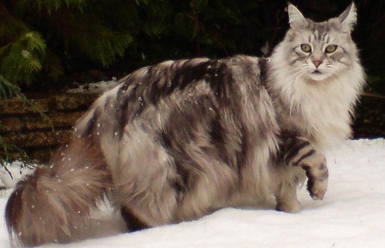 Cómo cuidar a un gato Maine Coon