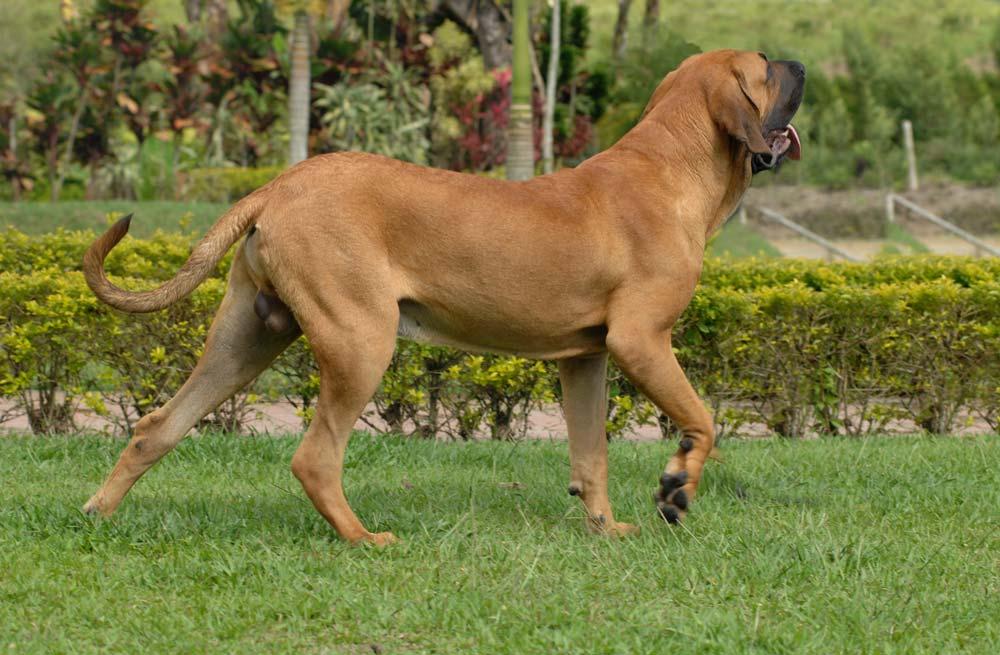 Cómo cuidar a un perro fila brasileño