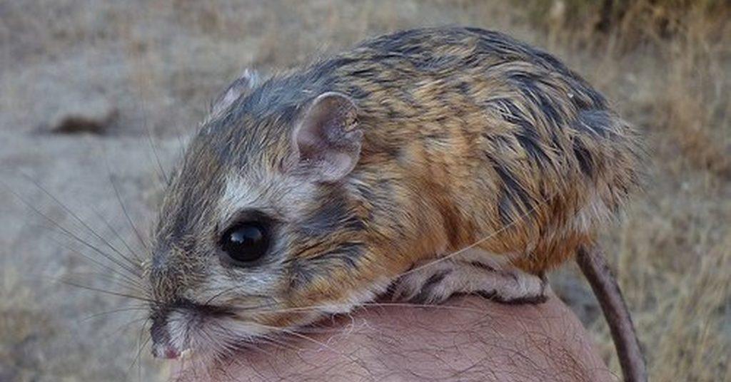Cómo cuidar a una rata canguro
