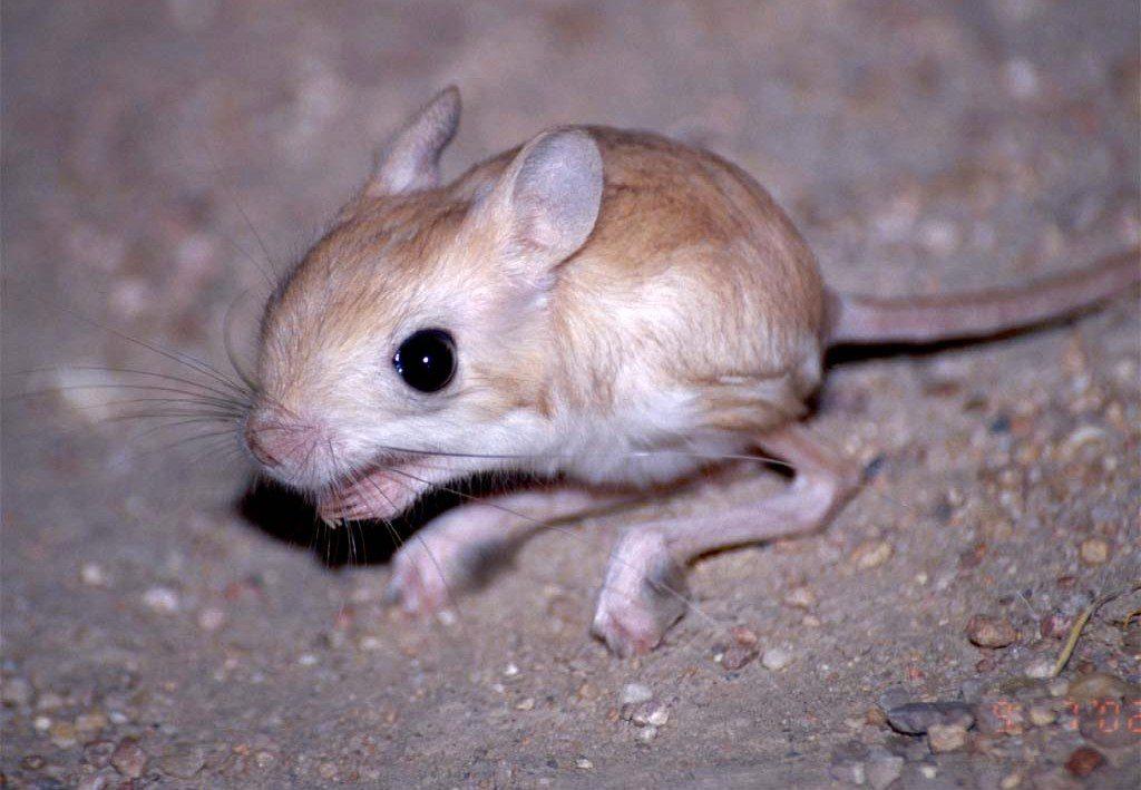 Cómo hacerte con una rata canguro