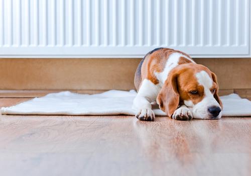Cómo saber si un perro tiene fiebre