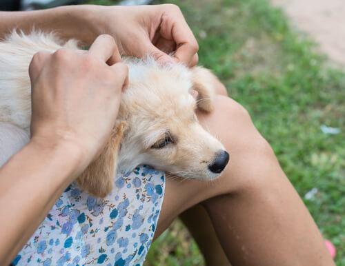 Cómo son las picaduras de garrapatas en perros