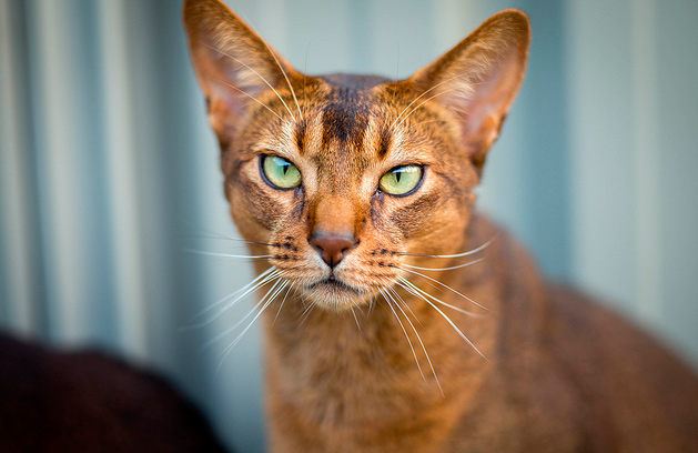 Carácter del gato abisinio