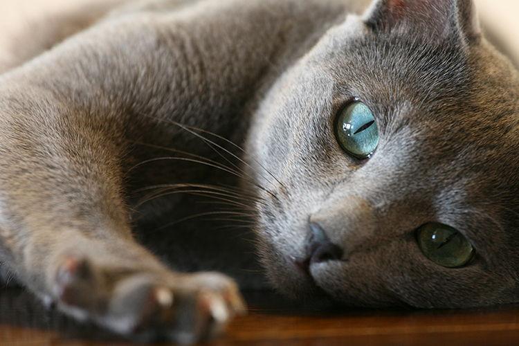 Características de la raza de gato azul ruso