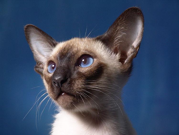 Características de la raza de gato siamés