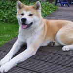 Causas de la caída de pelo en perros