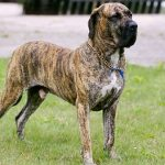 Conoce la raza de perro fila brasileño