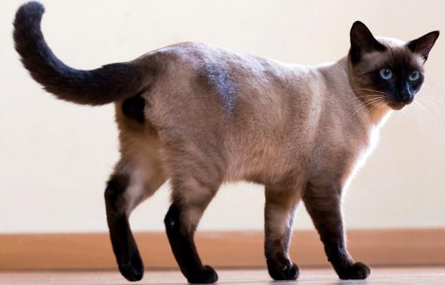 Consejos para cuidar a un gato siamés