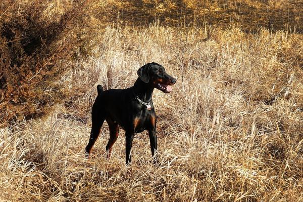 Consejos para eliminar las pulgas en perros