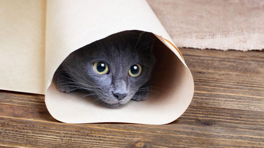 Cuidados de la raza de gato azul ruso