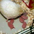 Cuidados de los erizos recién nacidos
