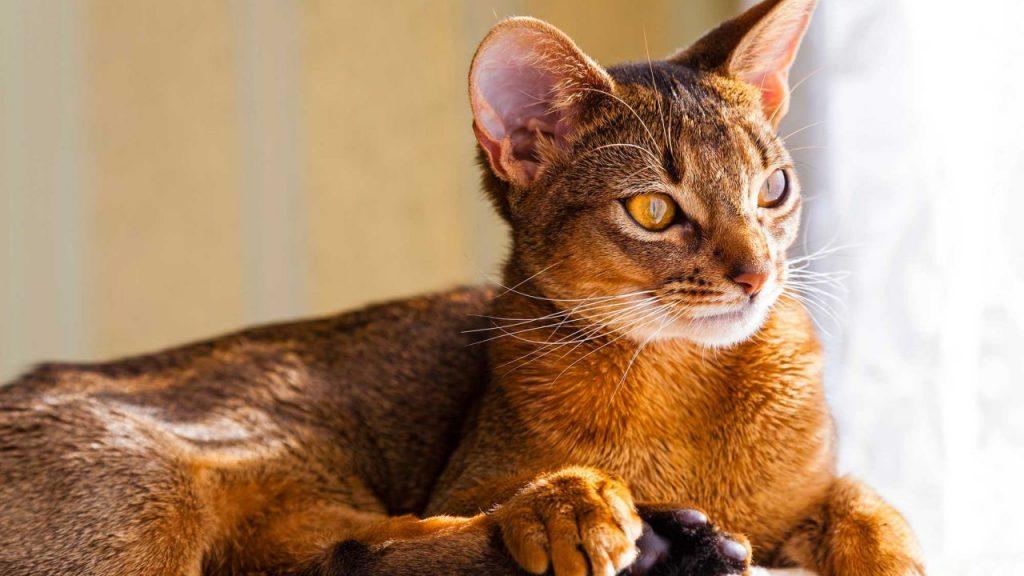 Cuidados que necesita el gato abisinio