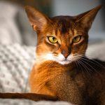 Descubre la espectacular raza de gato abisinio