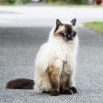 Descubre la genial raza de gato balinés