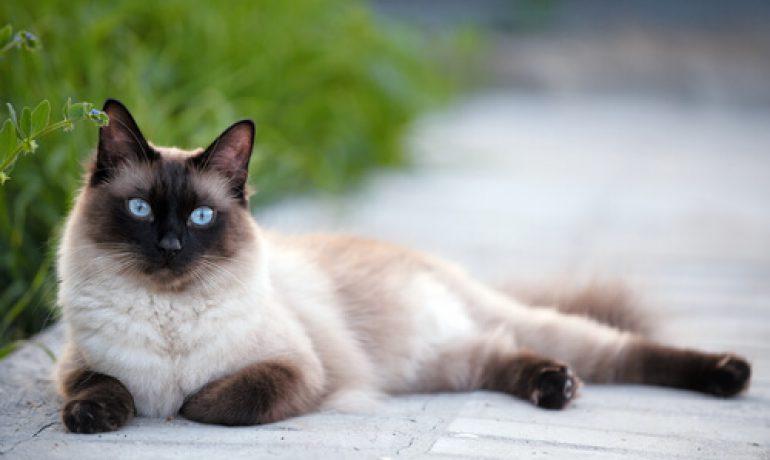 Descubre la raza de gato siamés