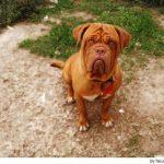 Descubre la raza del Dogo de Burdeos