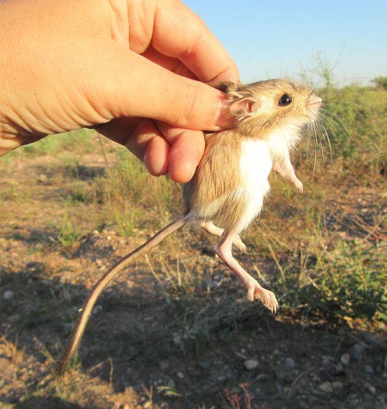 El comportamiento de la rata canguro