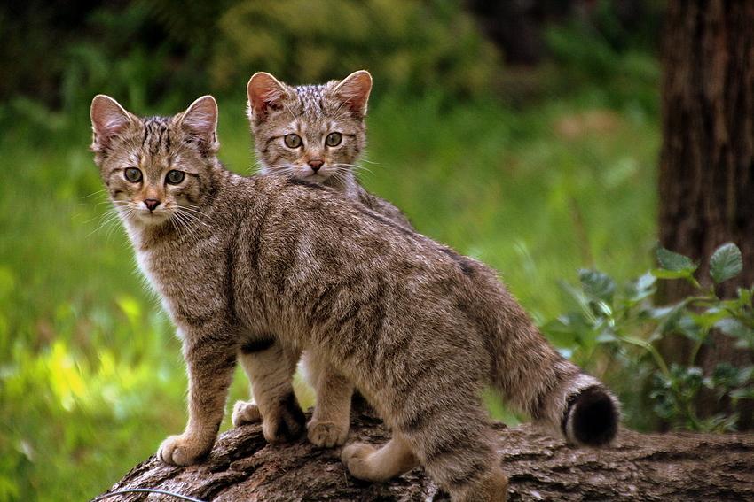 Gato salvaje europeo