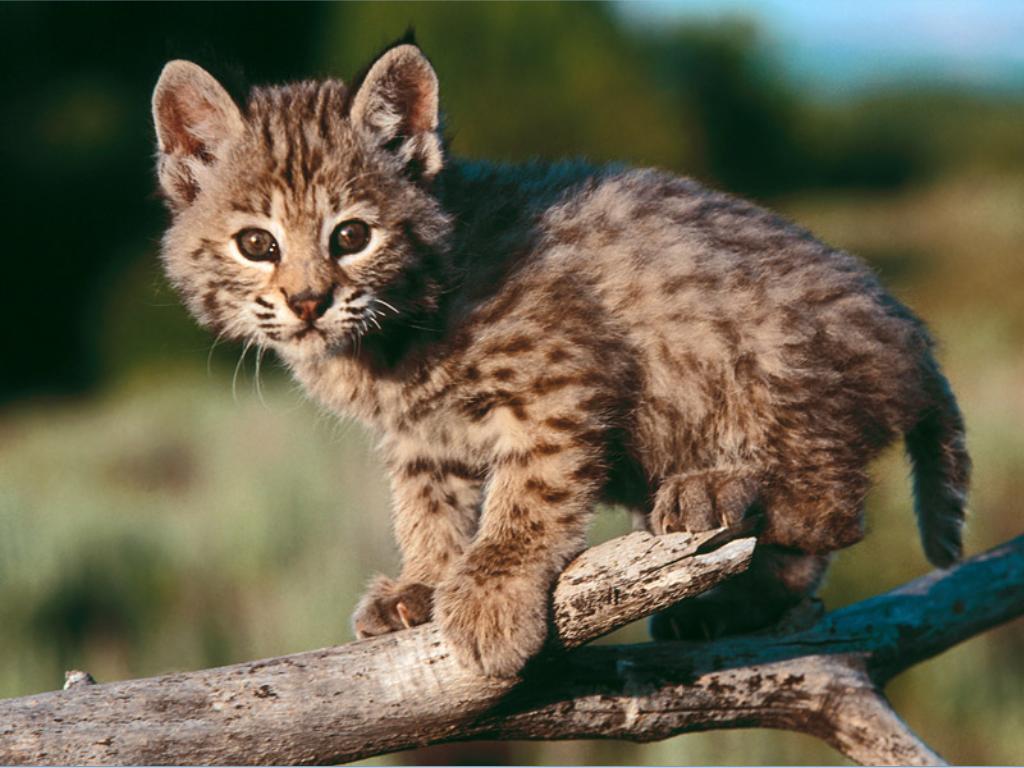 Gato salvaje norteamericano