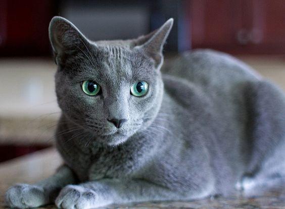 Historia de la raza de gato azul ruso