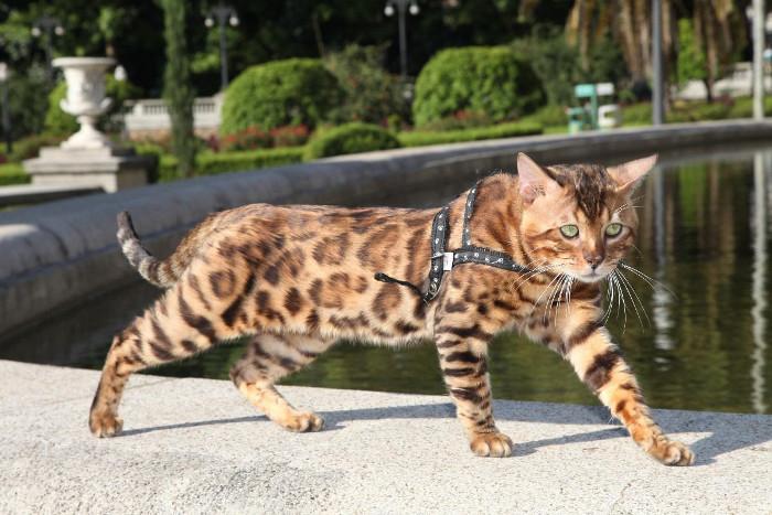 Historia de la raza de gato bengalí
