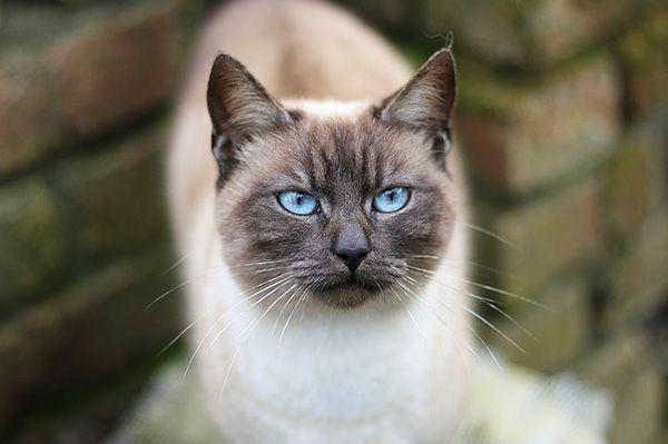 Historia de la raza de gato siamés