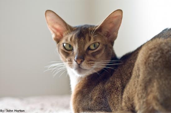 Historia del gato abisinio