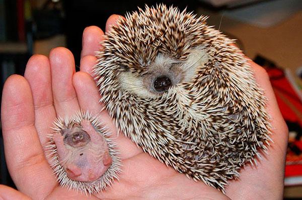 La alimentación del erizo recién nacido