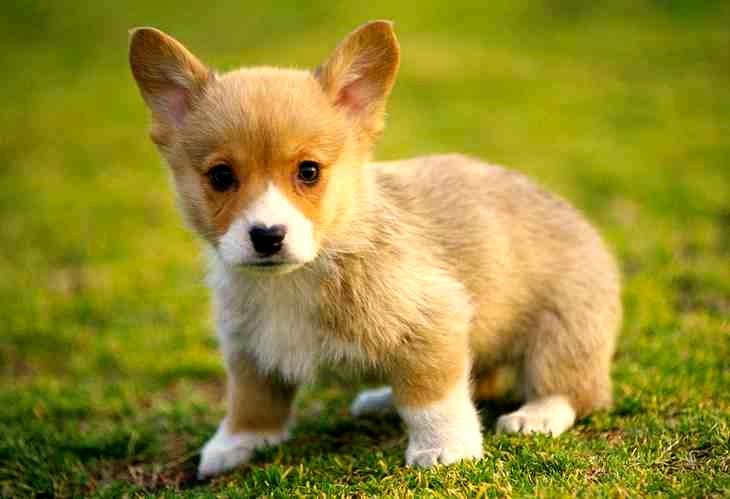 La leishmaniasis en perros