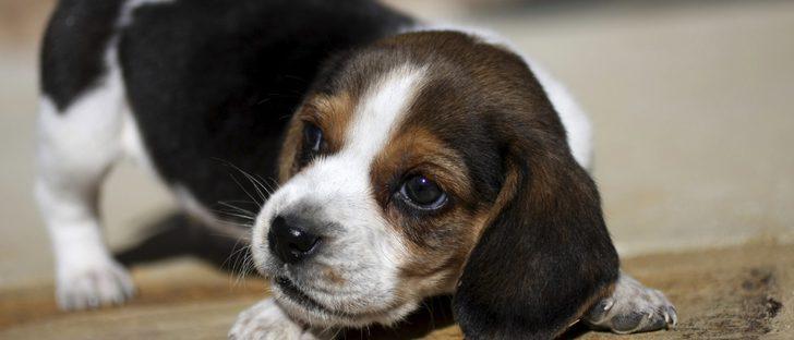 La piel atópica en perros