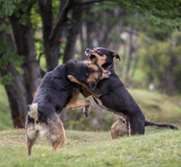 La policía rescata a 230 perros que se usaban en peleas