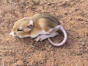 La rata canguro como mascota