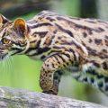 La raza de gato bengalí