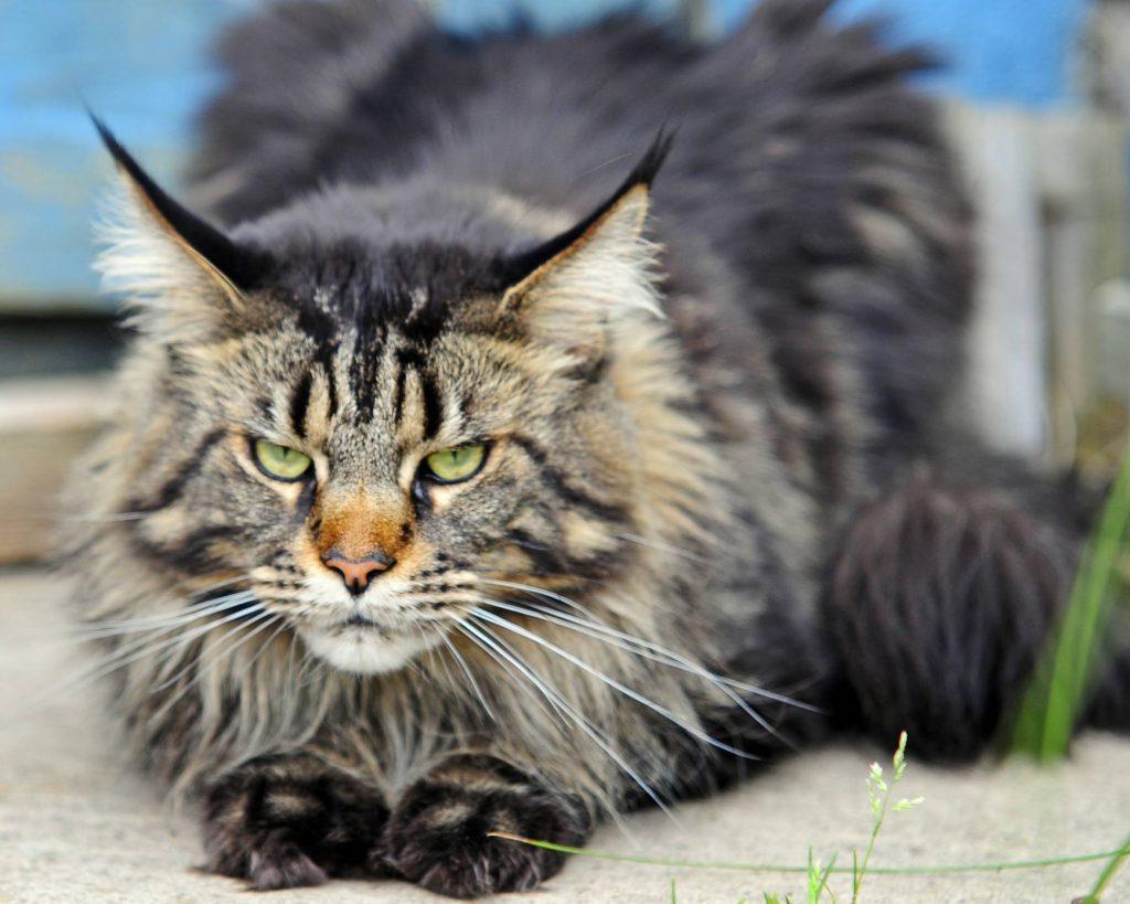 La salud de la raza de gato Maine Coon