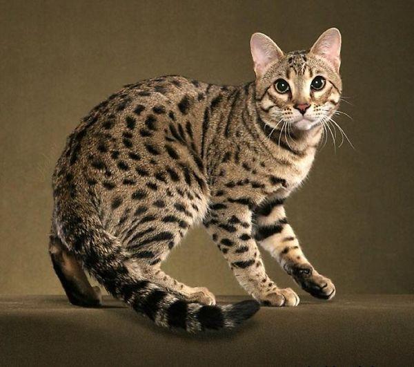 La salud de la raza de gato bengalí