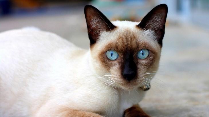 La salud de la raza de gato siamés