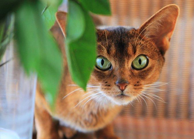 La salud del gato abisinio