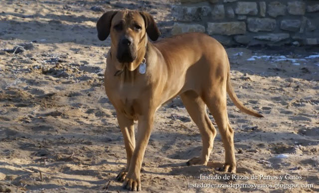 La salud del perro fila brasileño