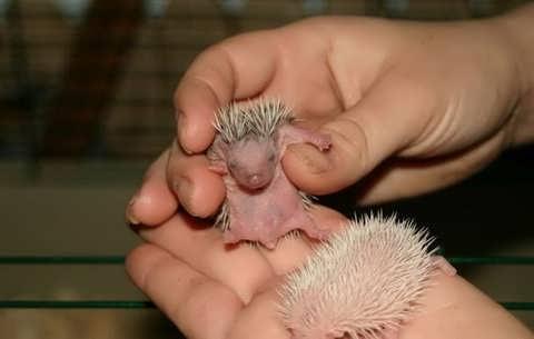 Los erizos recién nacidos