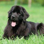 Meningitis en perros