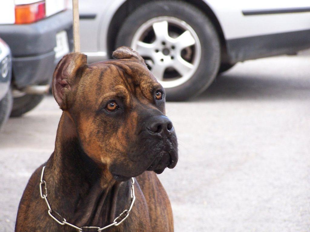 Otros consejos para comprar un perro Alano Español