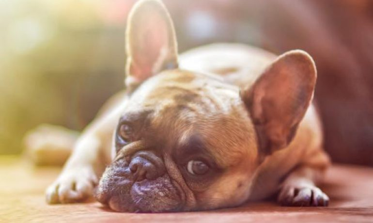 Parásitos externos en perros