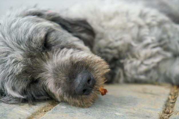Por qué cada vez hay más artritis canina