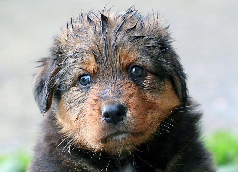 Por qué es malo bañar a un perro a menudo