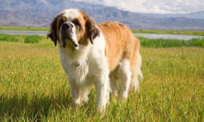 Prevención de la torsión gástrica canina